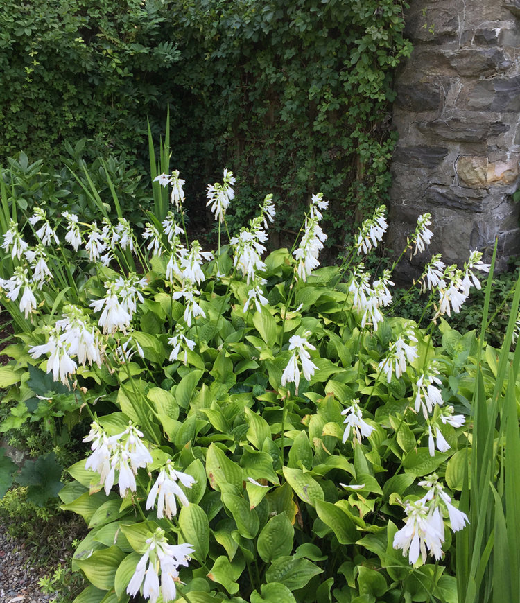 The surprising beauty of hosta flowers enchanted gardens there are more than 58 varieties of hostas that have evolved from hosta plantaginea they all bloom in august and are prized for their lovely pure white mightylinksfo