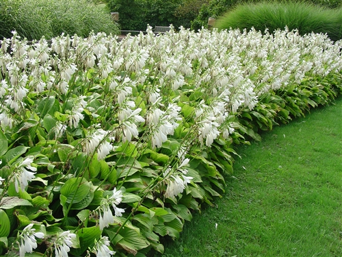 The surprising beauty of hosta flowers enchanted gardens so as you plan future gardens give some thought to including hostas purely for their floral display they can make magnificent additions to your landscape mightylinksfo