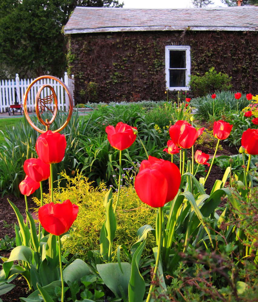How do i keep deer out of my garden - Darwin Tulips Are More Hardy Than Many Other Varieties And Return Year After Year I Add More Bulbs Every 4 5 Years To Keep My Spring Show Going