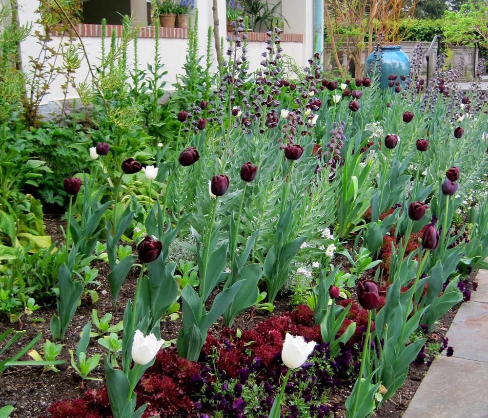 Spring garden with Fritillaria persica at Chanticleer