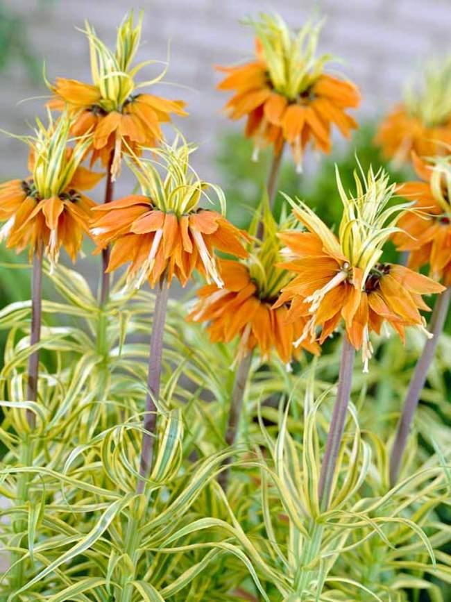 Fritillaria imperialis Aureomarginata from Bluestone Perennials