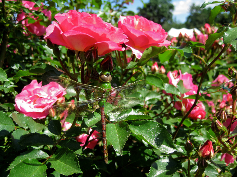 Elizabeth_Park,_Hartford,_CT_-_rose_garden_1.jpg