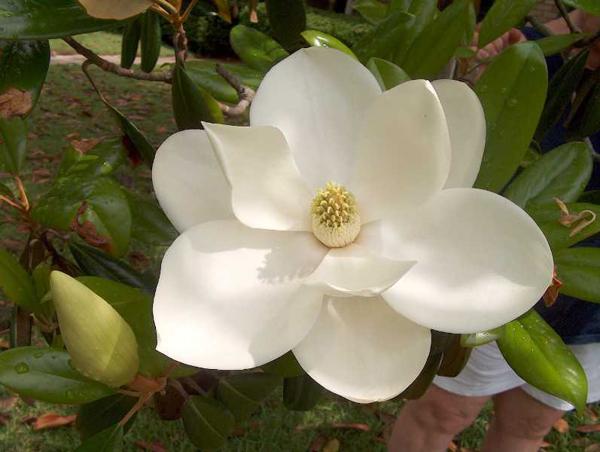 Magnolia_Close_600.jpg