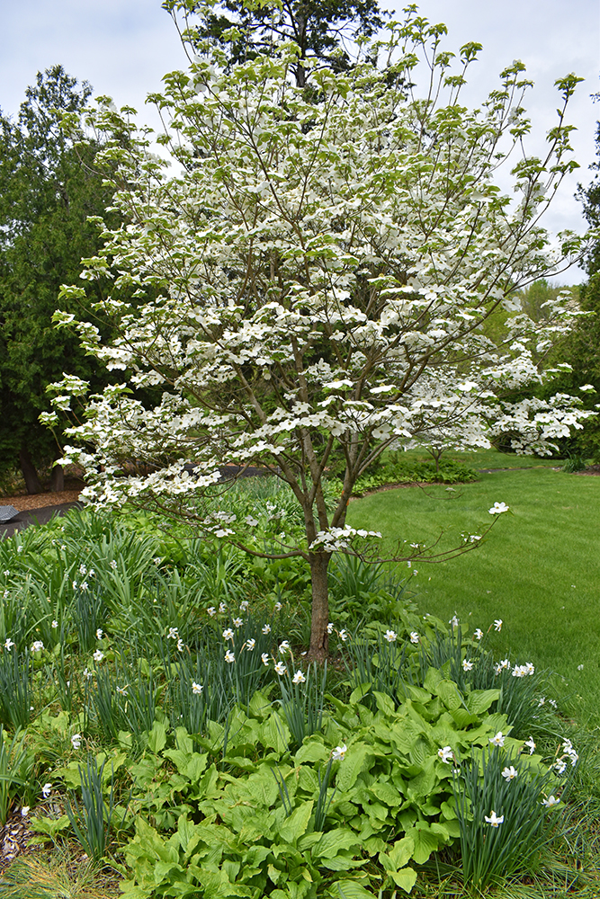 Native white dogwood underplanted with green hostas and white daffodils in early May