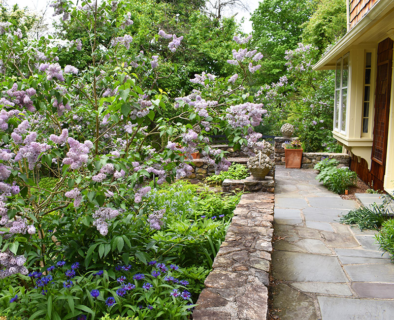 Coffee Terrace with lilacs and centaurea Montana
