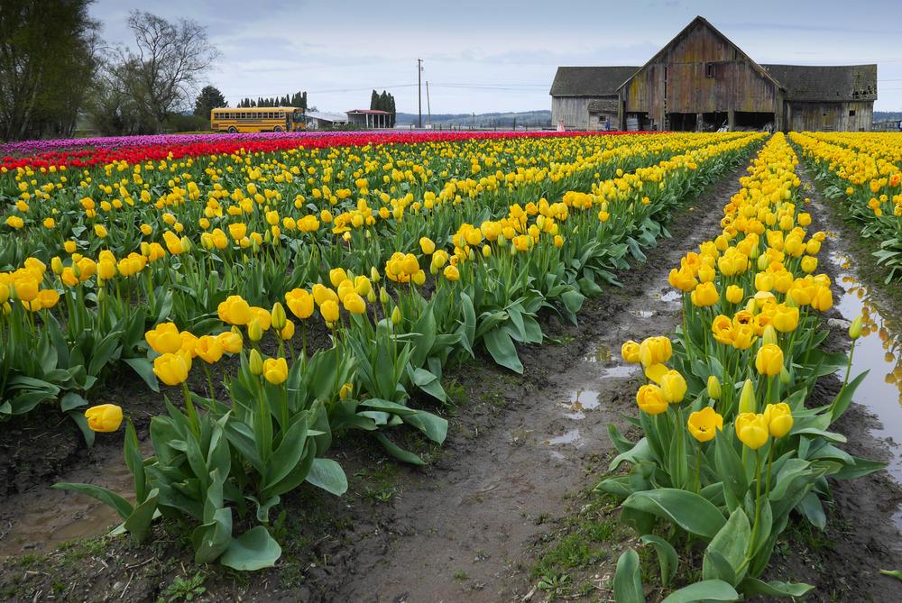 tulips skagit
