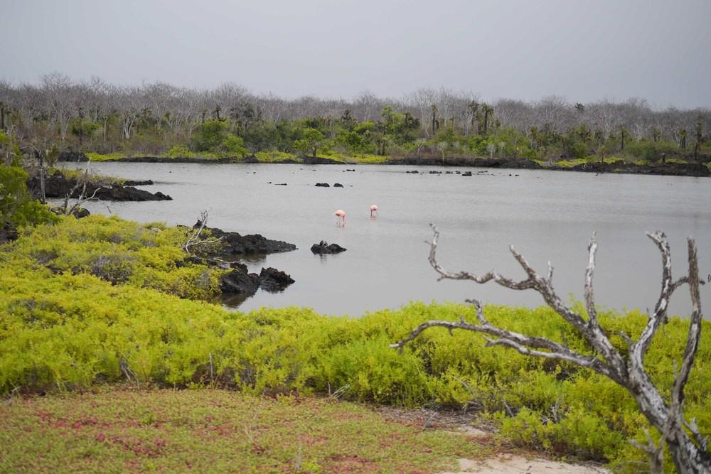 galapagos flamingo cruise isabela II