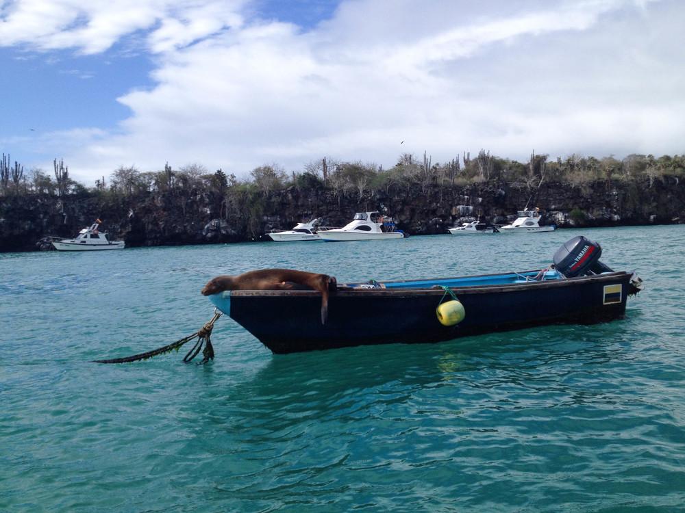 sealion galapagos puerto ayora