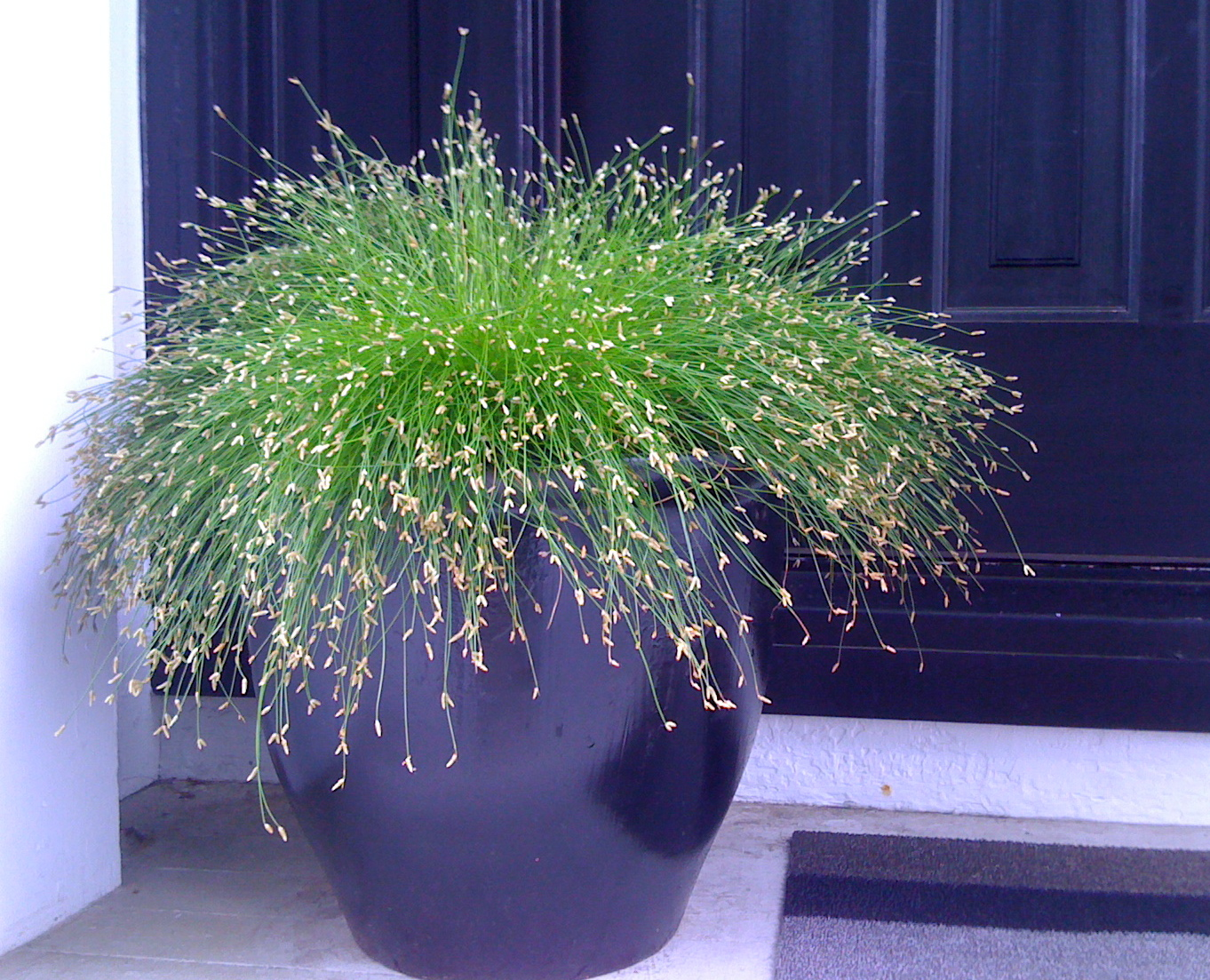 Fiber optic grass a low maintenance container plant for Best low maintenance grass