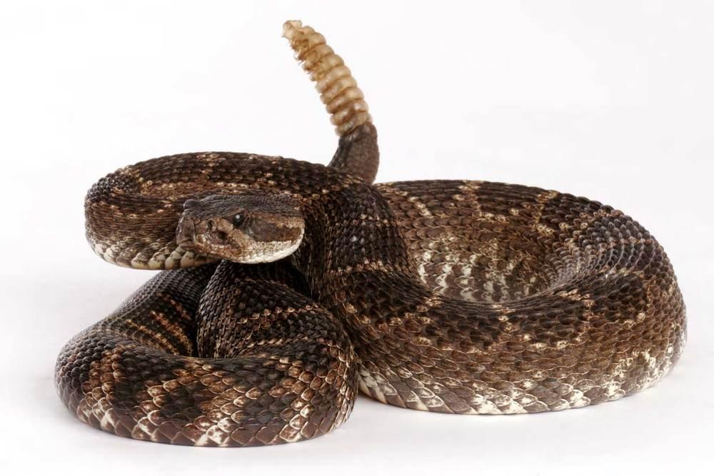 Snake Safety 101 Town Of Marana