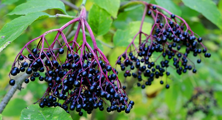 elderberry_sambucus