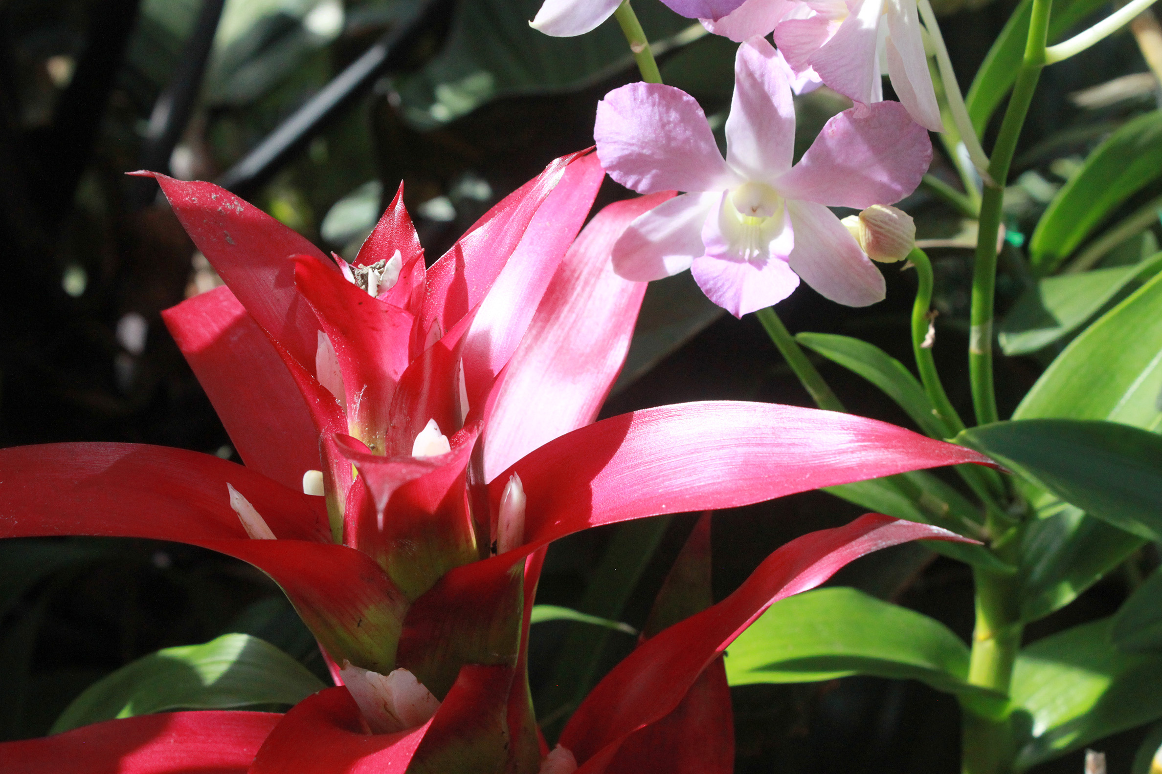 Botanical Basics Bromeliads Paiko