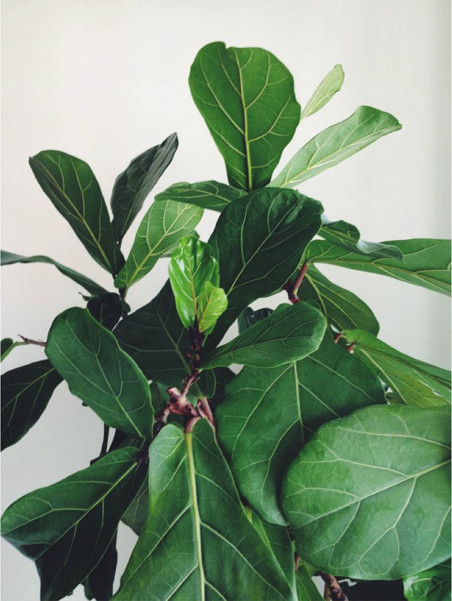 paiko fiddle leaf fig 2