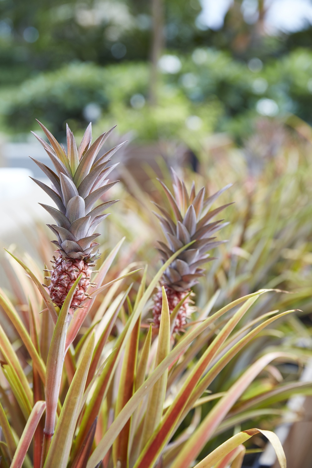 The Tale Of The Baby Pineapple Paiko