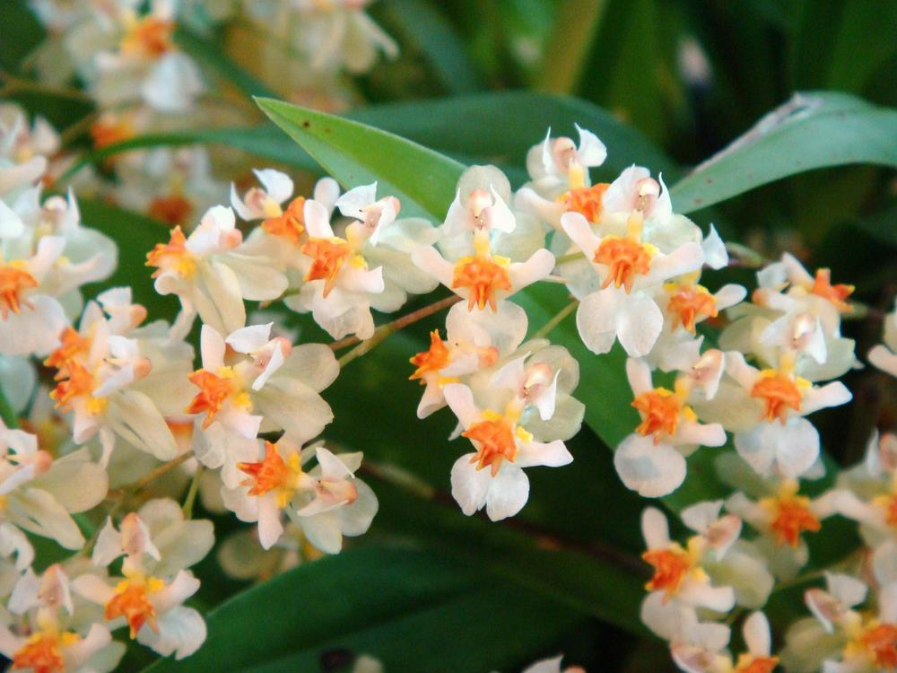 hybridorchid.la.coocan.jp/Oncidium/Oncidium%20Twinkle/Oncidium%20Twinkle.htm