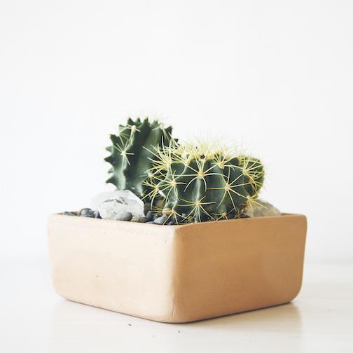 paiko cacti