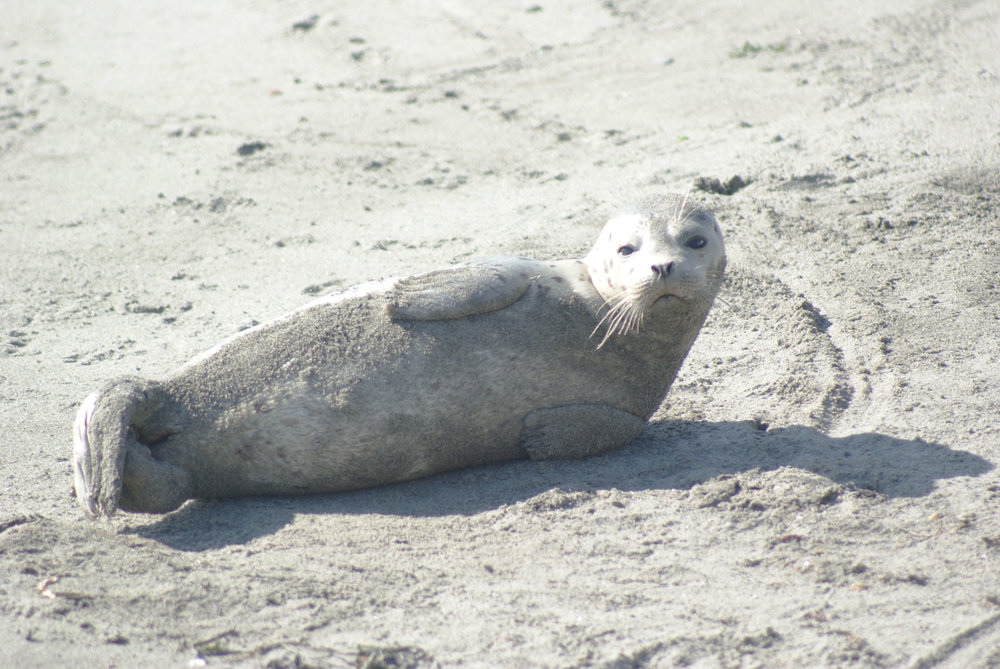 Harbor Seals ( Phoca vitulina ) are the most common marine mammal in the Puget Sound region.