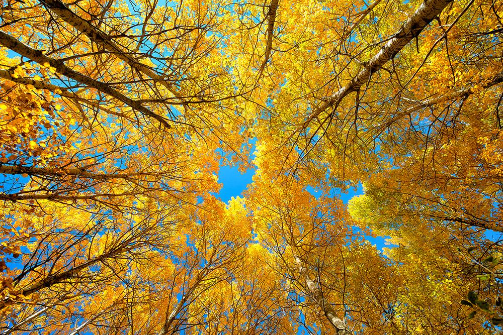 Straight Up Birch.jpg