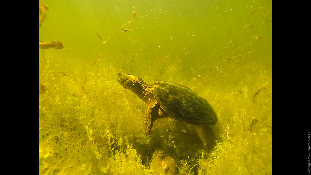 Snapping Turtle-HRA Snapping Turtle Underwater 7.jpg