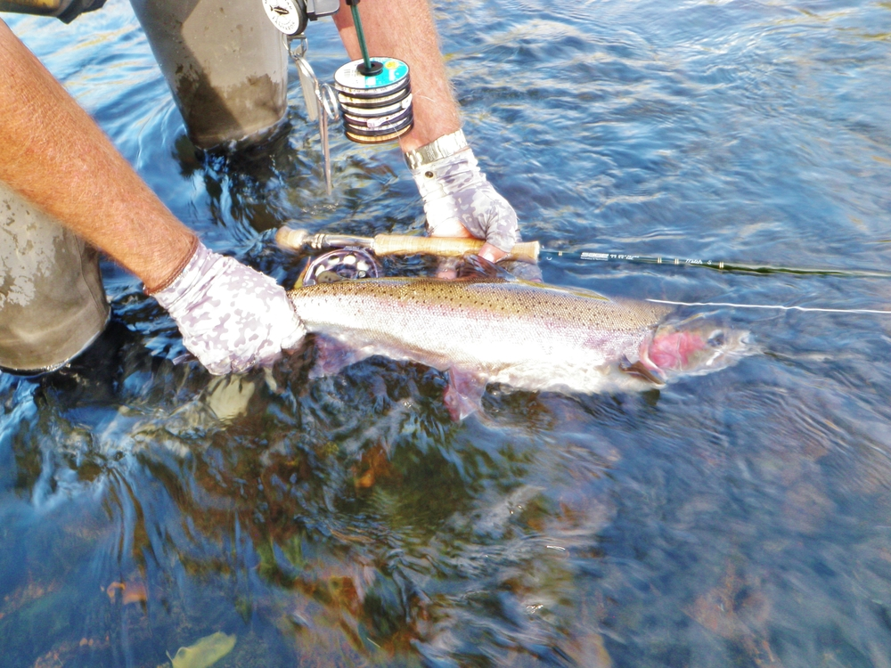 They Are Back  If you have any further questions please call the shop and when you are in the area stop in and say hello.  Rick Cox   www.mccloudflyfishing.com    www.wildwatersflyfishing.com