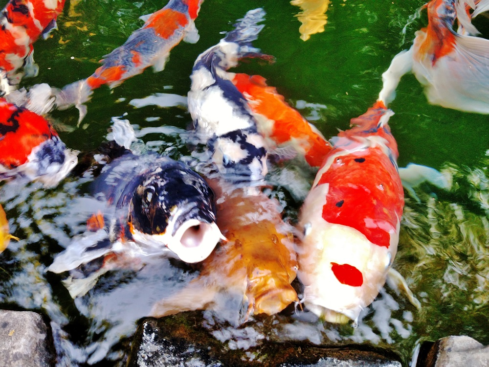My Koi Friends Blowing Kisses