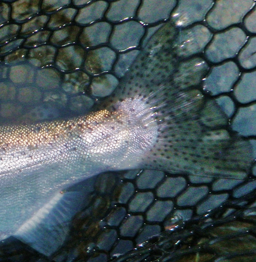 Nope Not A Steelhead .... USac Rainbow
