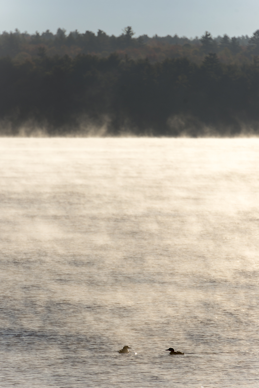 Loons on Lake Sunapee