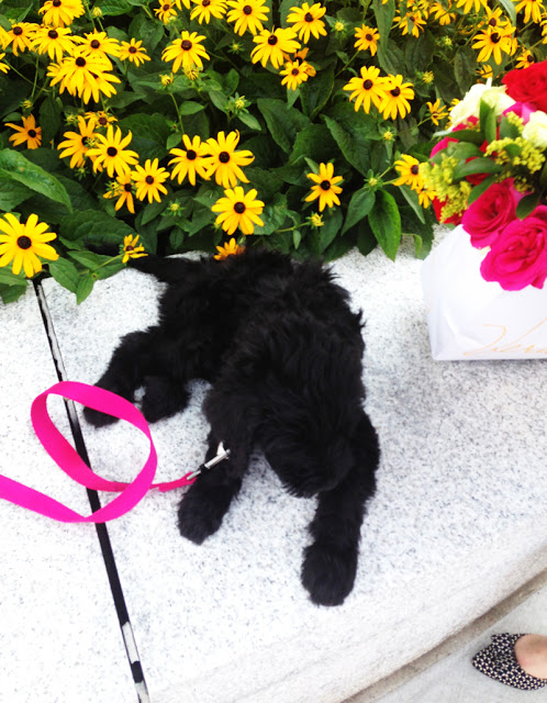 St. Louis Labradoodle Puppies
