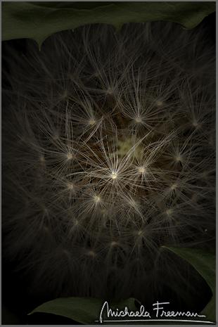 dandelion-4.jpg