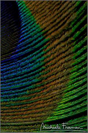 peacock-5.jpg