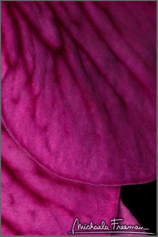 petunia-5.jpg
