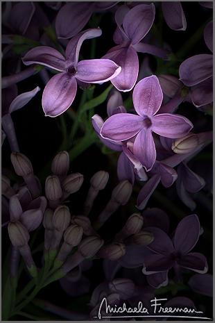 lilac-4.jpg