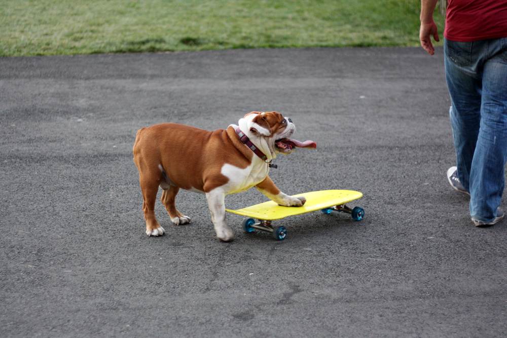 The skateboarding bulldog of Brooklyn Bridge Park