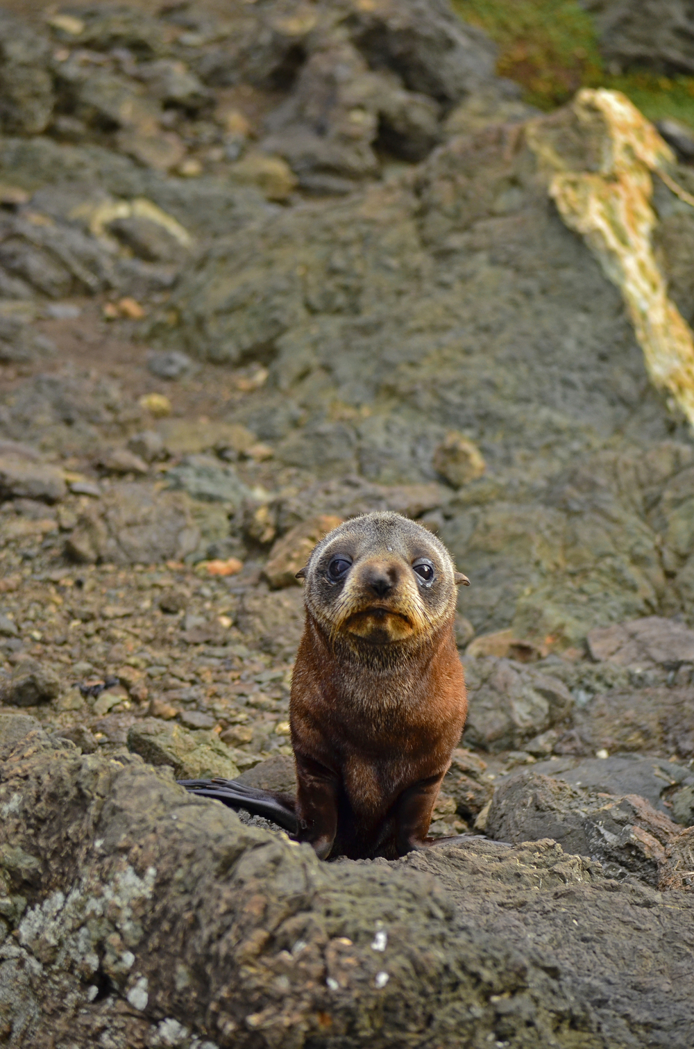 [22] Baby Sea Lion, North Island.