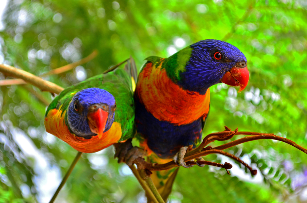 [10] Rainbow Lorikeets of Greenvale, Queensland.
