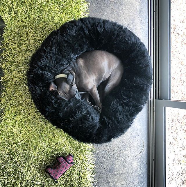 ❤️❤️Another photo of Jet in her new @animalsmatterinc bed! She isn't leaving anytime soon, not even for her 🐖. #dogsofinstagram #adoptdontshop tdontshop #pitbull @contra_costa_animal_services