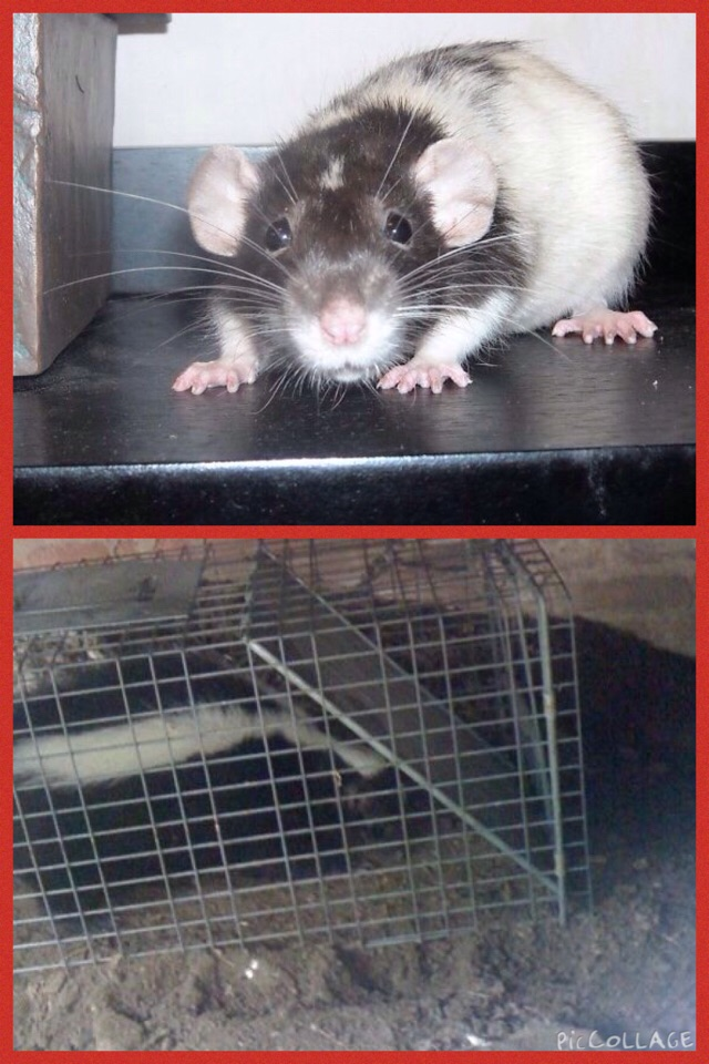 Lost Toshi, a pet rat, who got out of the rat play pen while outside.  Toshi went under the back step so we set a trap.  We SO didn't catch Toshi.  Skunks not only like cat food but seem to think Cinnamon Toast Crunch is yummy too.