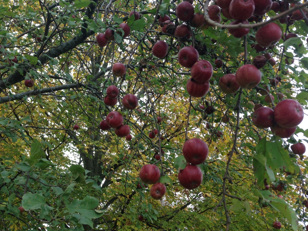 Our apple tree in October of 2013...