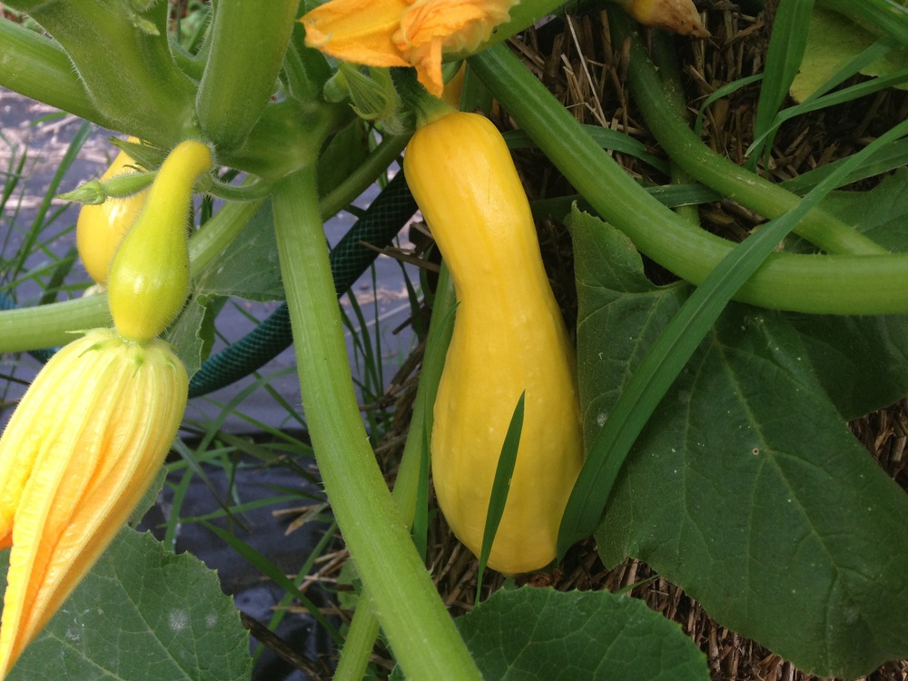 Beautiful yellow squash.