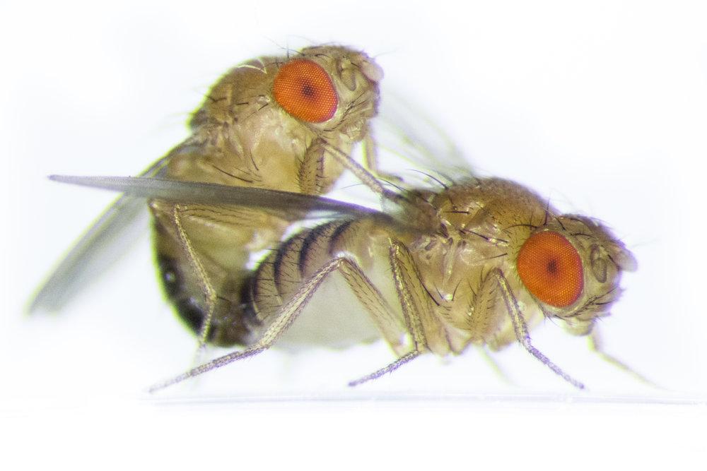 Mating Drosophila melanogaster (Photo by Amy Hong)