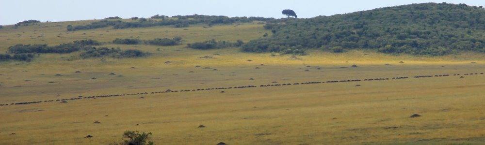 Wildebeests migrate in a straight line and you can see it stretch across the entire horizon!