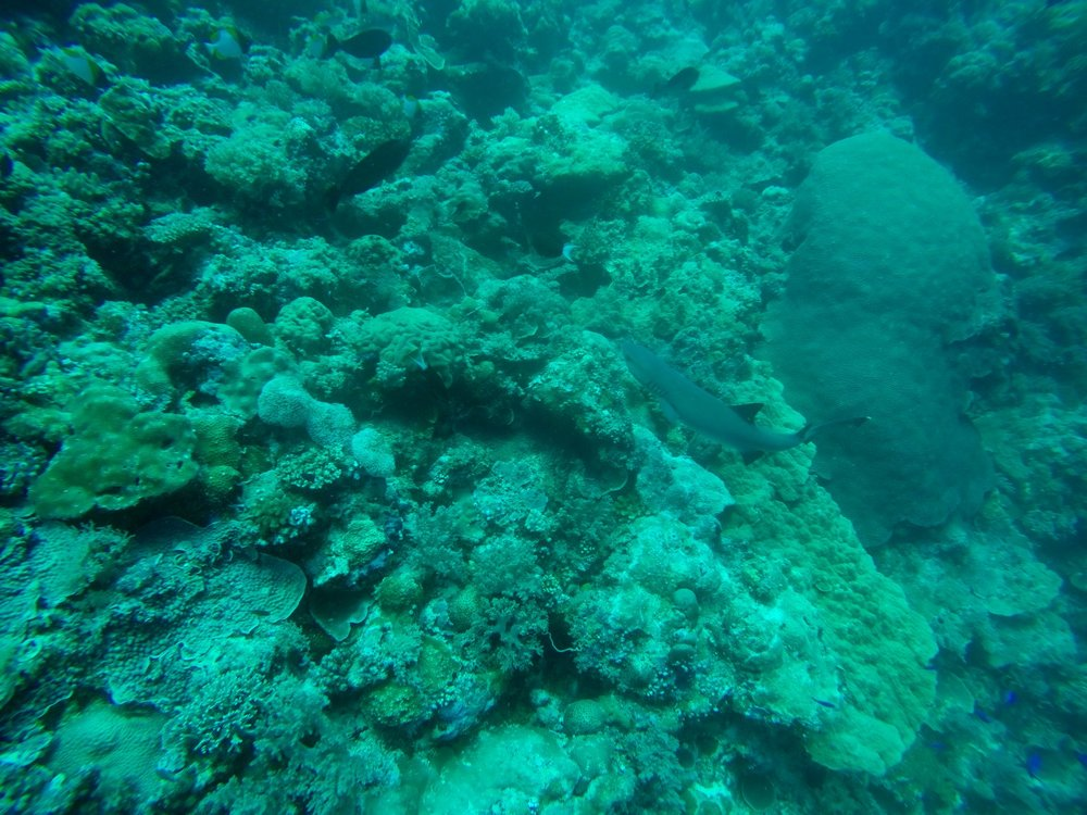 Shark Palau