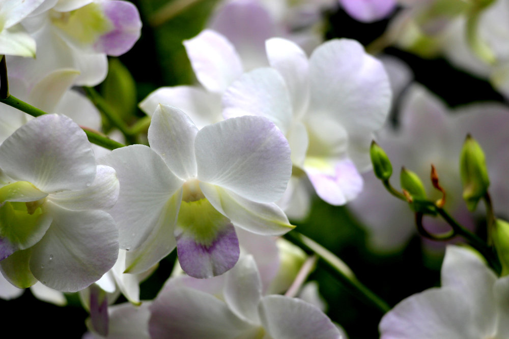 Singapore Orchid