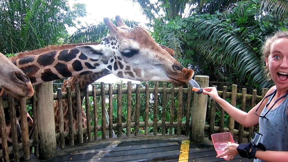 Feed Giraffe