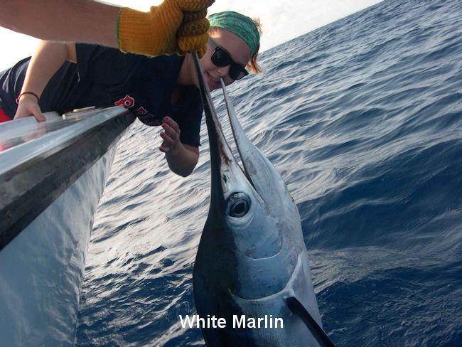 white-marlin.jpg