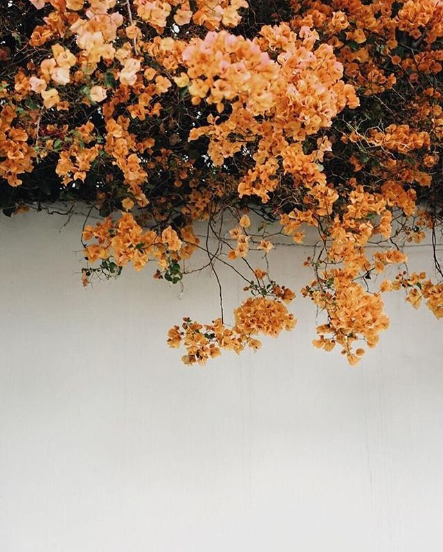 ✨Abundance✨  #blossomandwildloves #bougainvillea #beautyallaround #golden