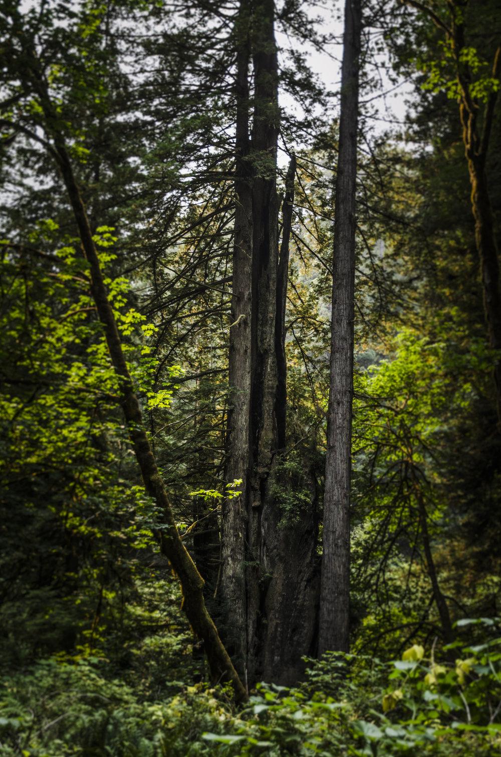 Redwoods_4.JPG