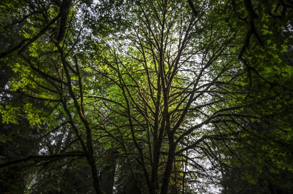 Redwoods_5.JPG