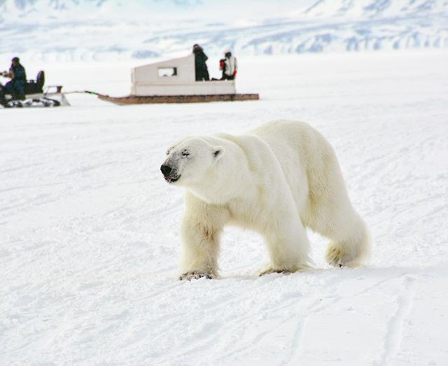 Happy #humpday !  One way to feel safe so close to a #PolarBear is to watch him eat a massive seal dinner.  No room for dessert 😉 ! Spring is the best time to watch polar bears feeding.  Check out our remaining dates for June 2019 at baffinsafari.com #BaffinSafari #ArcticTours #arcticadventures
