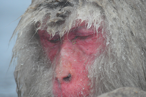 snow monkey close up